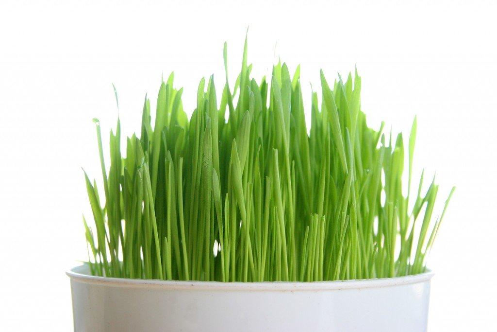 Nước Uống Từ Mầm Lúa Mạch và Rau Củ Plant Enzyme Green Juice