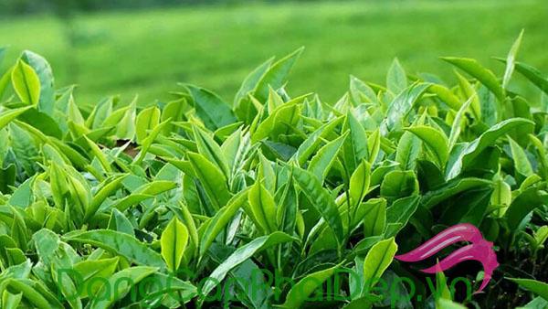 Tinh chất trà xanh chống oxy hóa mạnh mẽ.
