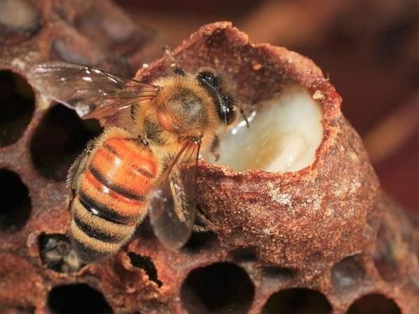 Sữa ong chúa tươi Be Max Rism