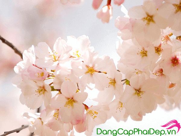 viên uống giảm nám Sakura HCL White Blossoms EX