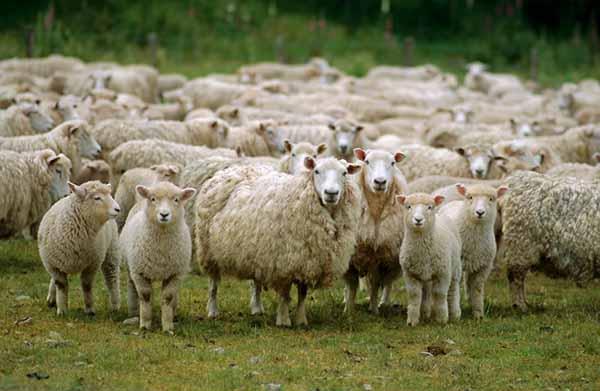 Viên uống nhau thai cừu Zell-V