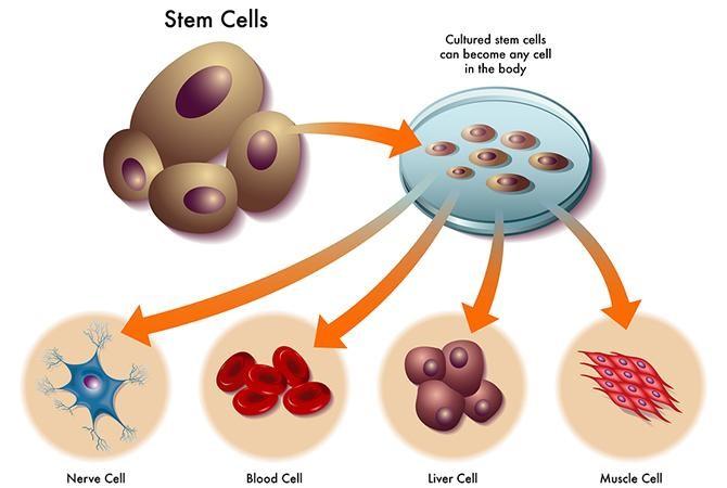 Tế bào gốc là gì? Ứng dụng của tế bào gốc trong lĩnh vực làm đẹp