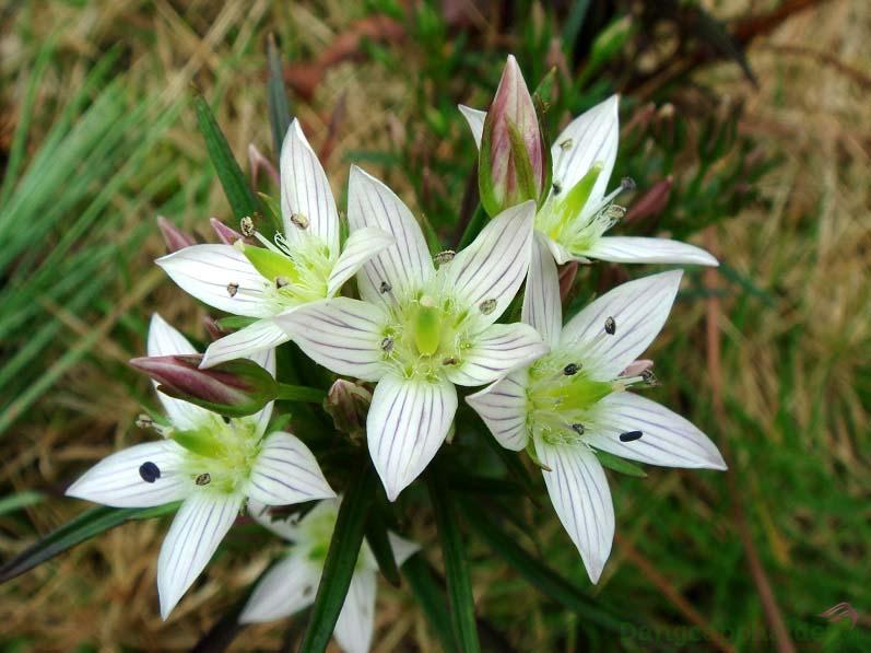 Chiết xuất thảo dược Swertia Japonica