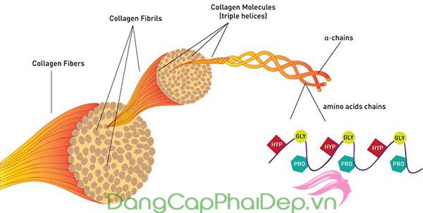 Collagen được ví như chất keo kết nối các tế bào thành một thể thống nhất