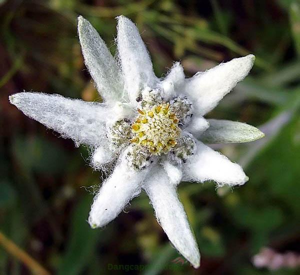 Chiết xuất hoa Nhung Tuyết quý hiếm