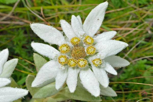 Hoa Nhung Tuyết quý hiếm.