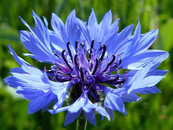 Chiết xuất hoa Thanh Cúc