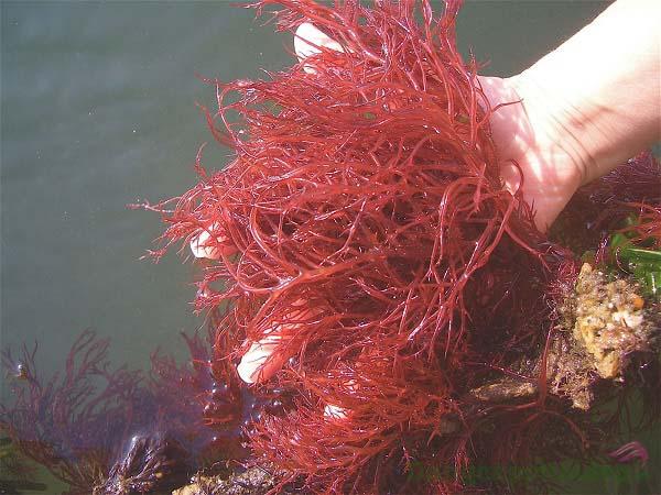 Tảo đỏ biển