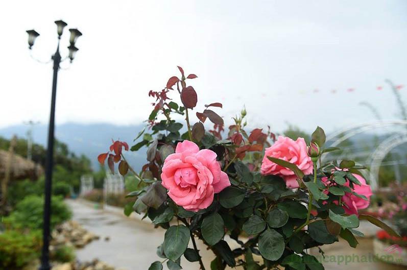 Tế bào gốc hoa hồng núi