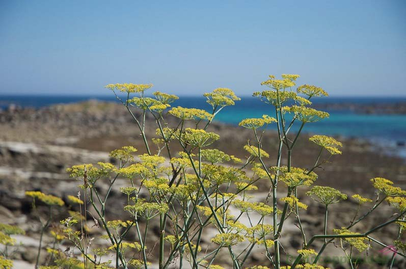 Chiết xuất cây Thì Là biển