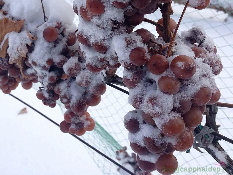 Maria Galland 660 Lift' Expert Cream chứa chiết xuất rượu vang tuyết giúp nâng cơ da tức thì