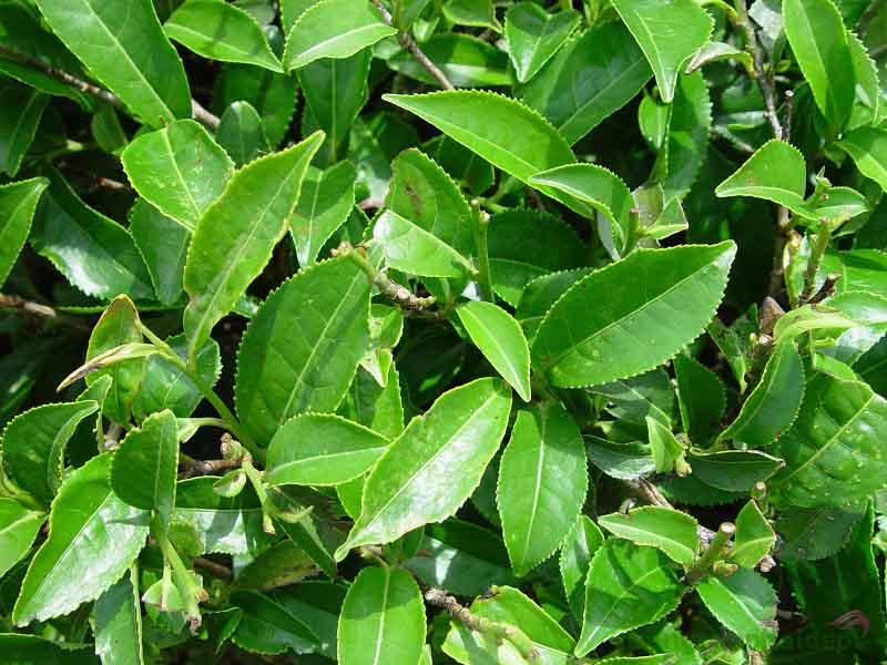 Chiết xuất tinh dầu cây trà xanh