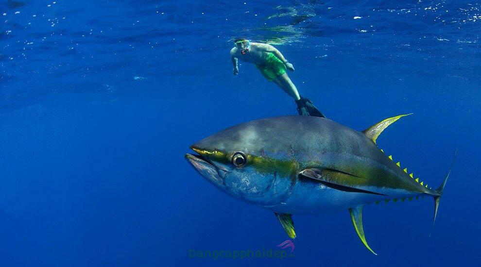 Collagen chiết xuất từ da cá ngừ đại dương