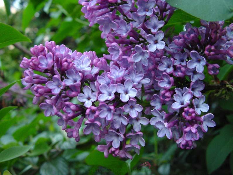 Chiết xuất hoa Tử Đinh Hương