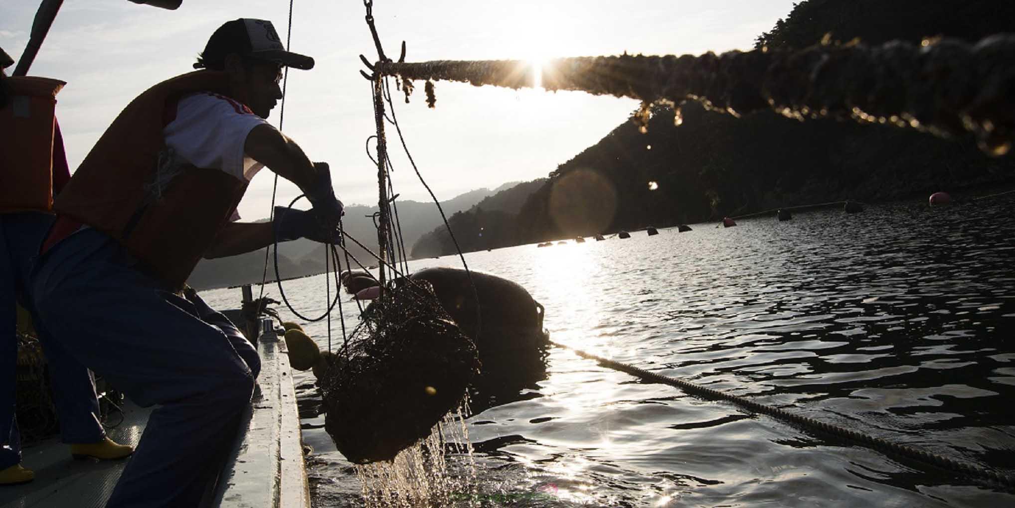 Hàu Miyagi được nuôi trồng bằng trên những sợi dây dài ở vùng biển Sanriku
