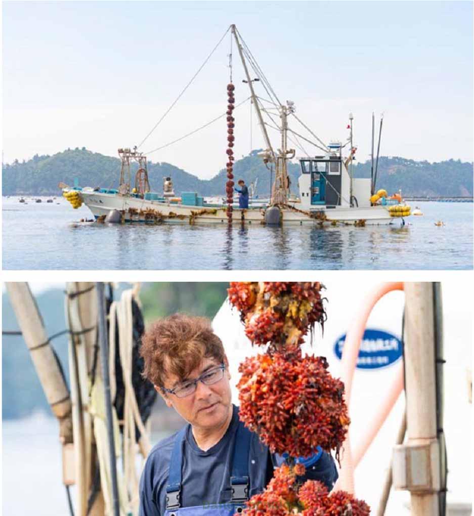 Loại hải sản này được nuôi trồng trên những sợi dây dài trên đại dương ngoài khơi thành phố Ishinomaki