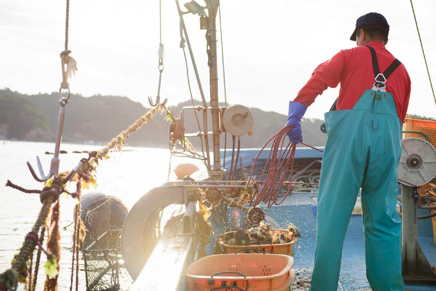 Sò điệp Nhật Yamanaka phát triển nhanh và to nhờ được nuôi tròng ở vùng biển giàu khoáng chất và sinh vật phù du