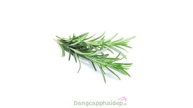 Thành phần chứa chiết xuất Rosemary