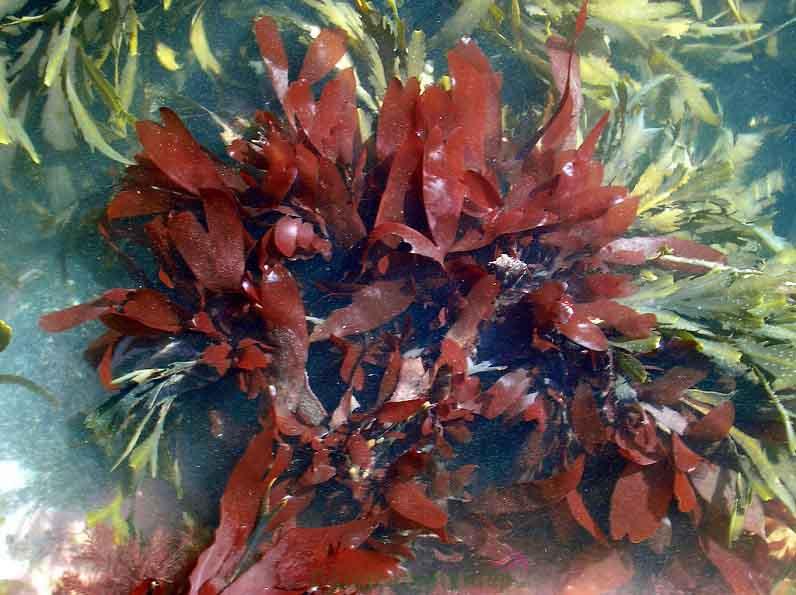 Tảo đỏ Palmaria Palmata
