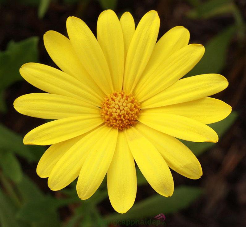 Chiết xuất cúc hoa vàng