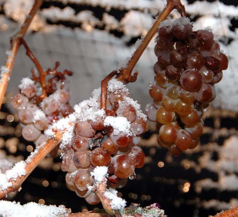 Chứa chiết xuất rượu vang tuyết quý giá