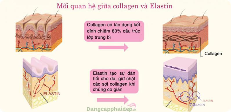 Elastin và Collagen có quan hệ mật thiết với nhau.