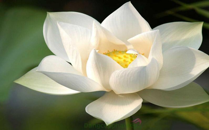 Chiết xuất hoa sen Nhật Bản