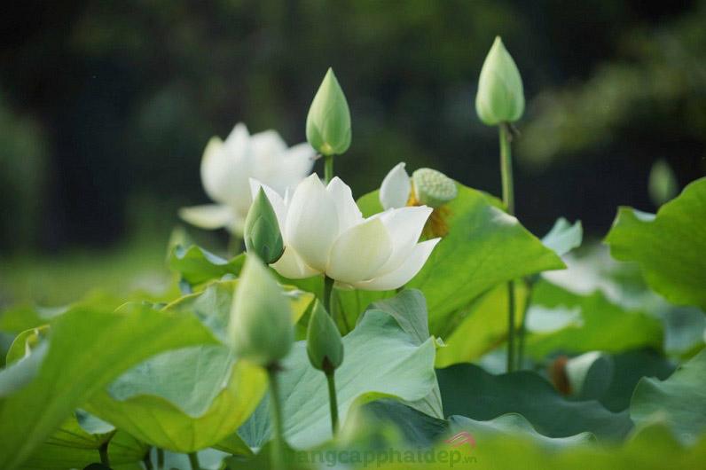Chiết xuất hoa sen