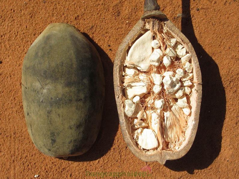 Chiết xuất dầu Baobab giúp da căng mượt lâu dài