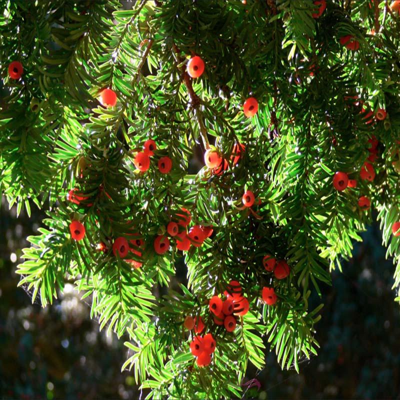Sản phẩm chứa hoạt chất Pycnogenol được chiết xuất từ vỏ cây thông đỏ